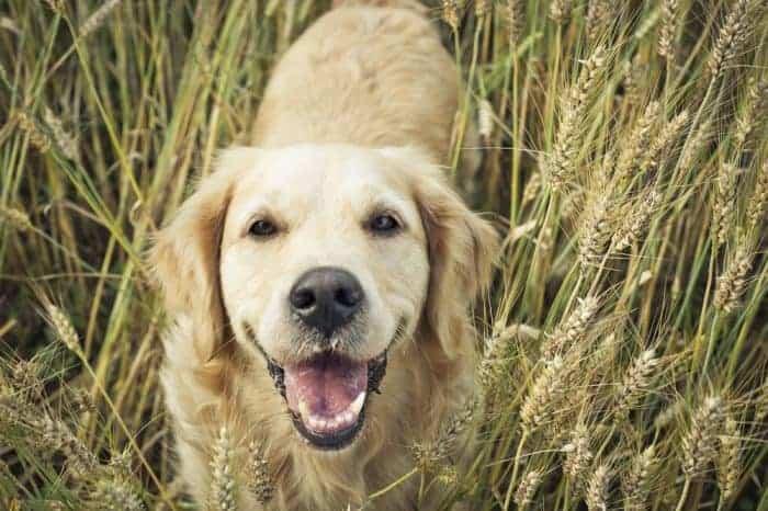 when to neuter a labrador retriever labrador retriever arthritis treatment eukanuba labrador retriever formula dry dog food labrador retriever rescue md labrador retriever care
